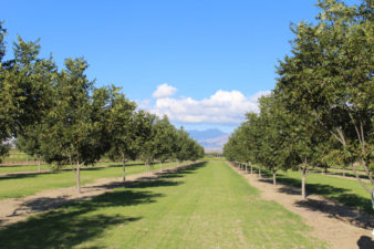An orchard in the western part of the U.S. that has no vegetation in the tree rows but a mow strip of grass between each row of trees.