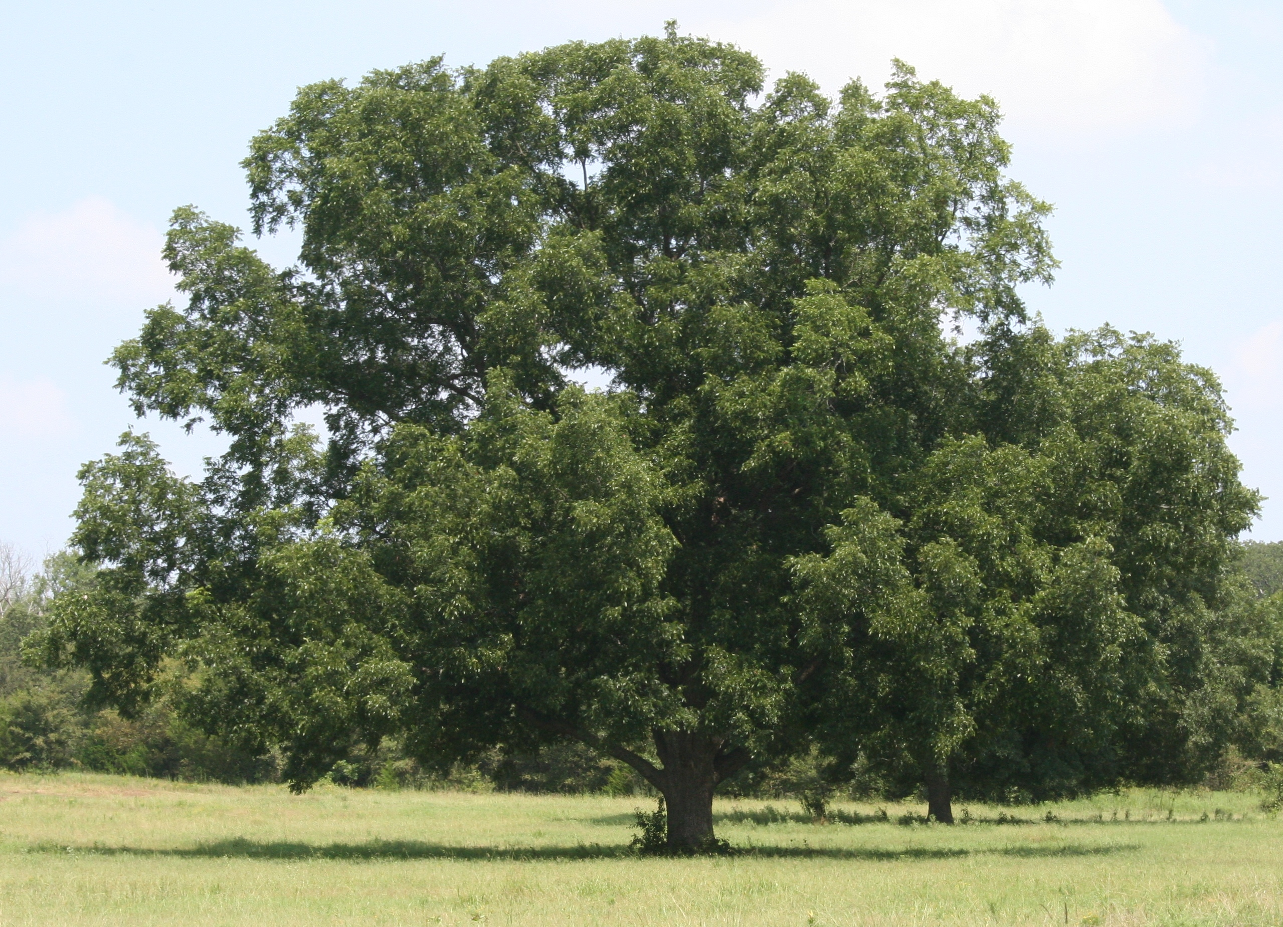 A native pecan tree grows tall in an Oklahoma grove.