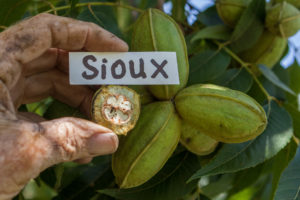 A man holds up a halved piece of 'Sioux' in its shuck and shows it in front of its corresponding nut cluster.