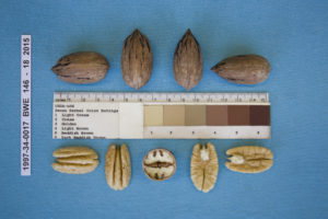 Nut and kernel characteristics of 1997-34-0017.