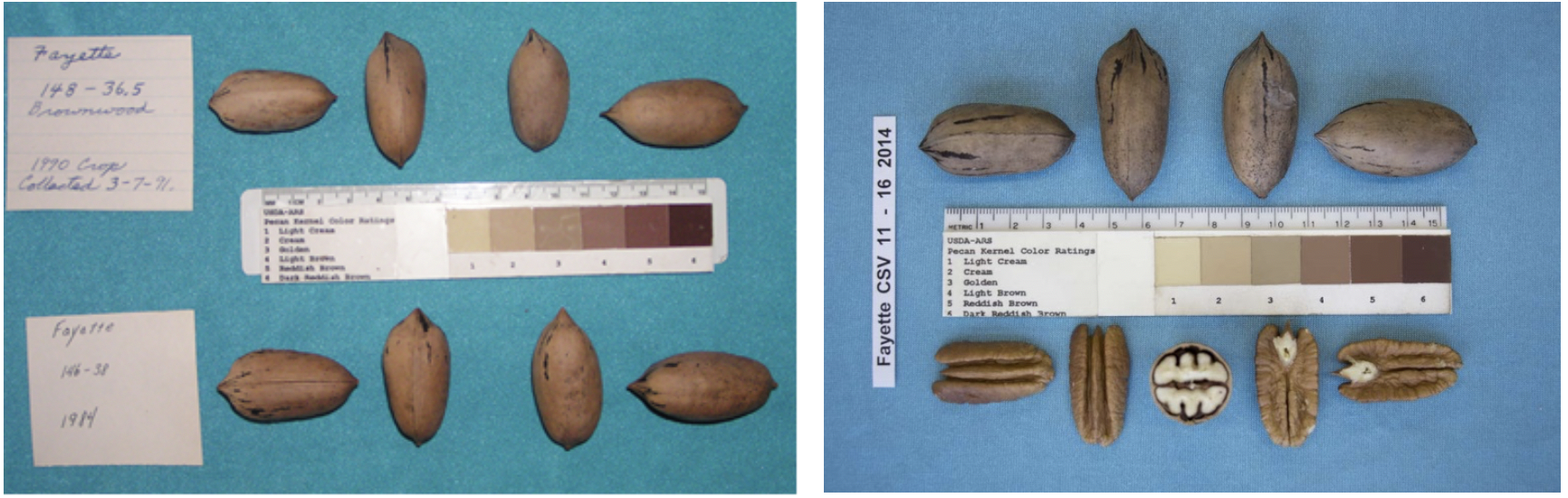 Two nut vouchers which show the kernel, inshell and color characteristics of the 'Fayette' variety.