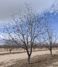 A tree split into a y-shape near the orchard floor. Training young pecan trees is one important winter activity growers should think about after harvest.