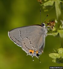 Photo by Adult Gray Hairstreak, Strymon melinus, on a branch.