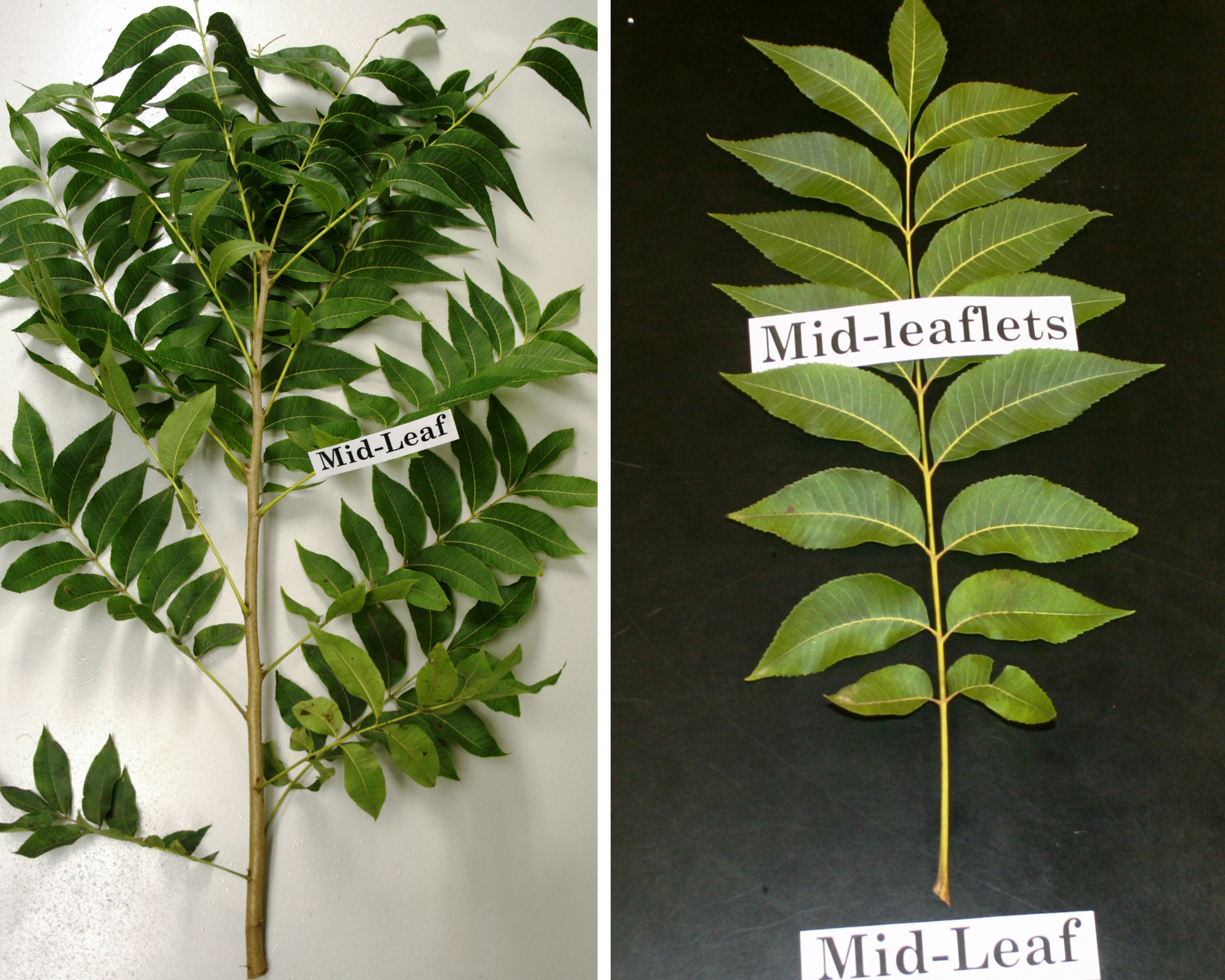 Images showing where to find the midleaf and midleaflets are located when collecting a sample for leaf analysis.